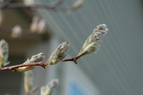 Silver-green leaf buds about to unfurl on serviceberry branch