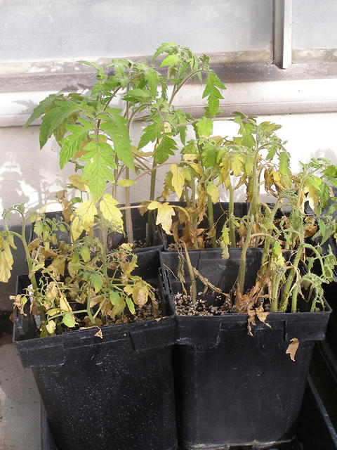 Tomato translplants in trays. Front plants are small, wilted and yellow.  Plants in back are larger, upright and darker green.