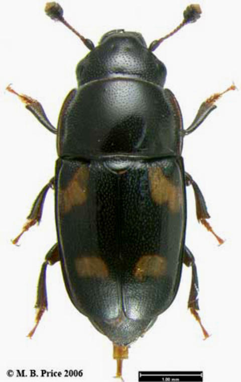A long black beetle with six legs, two antennae and four yellowish spots on the wing covers