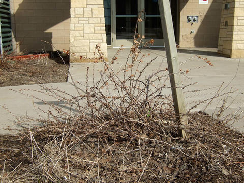 Gooseberry bush that needs pruning because of dead wood and long bending canes