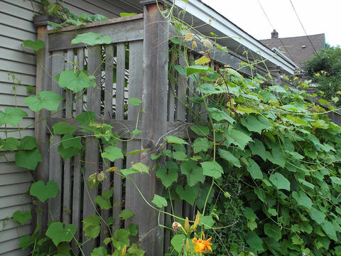 grape vines covering a tall wooden fence