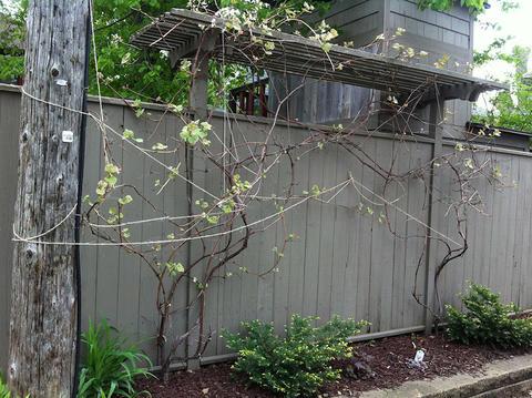 two grape vines growing on a trellis against a fence with other plants