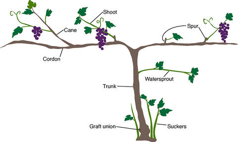 diagram of the parts of a grape vine