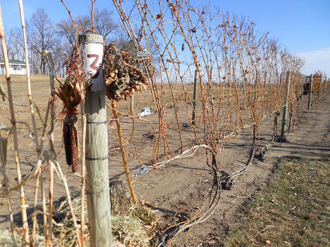 dried and brown grape vines attached to a long fence in a vineyard in fall