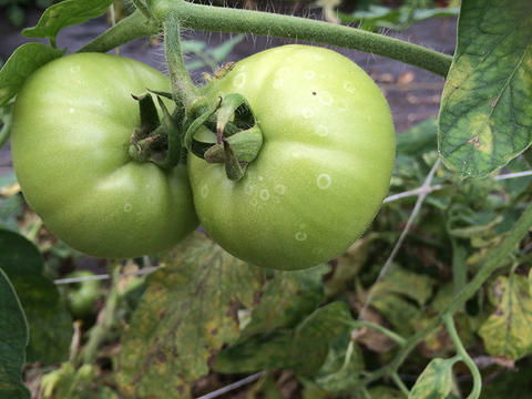 Healthy green tomatoes with white rings or halos on the fruit