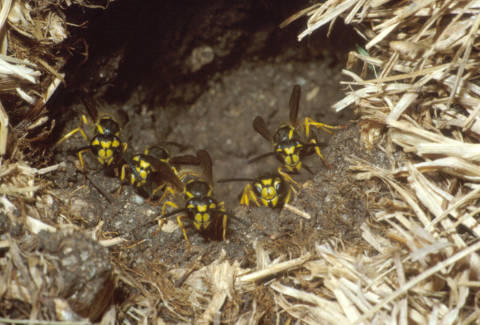 Yellowjacket ground nest