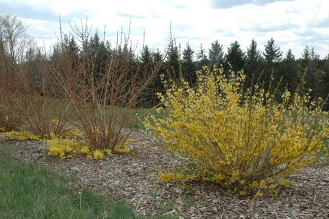 Two forsythia shrubs with yellow flowers occurring only at the base of the plant, and one forsythia shrub covered in yellow flowers