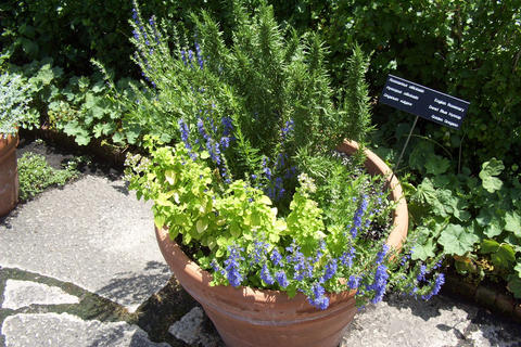 Mint, lavender, and rosemary grow together in a terracotta pot. The pot is on a stone walkway, and other garden plants grow in the background.