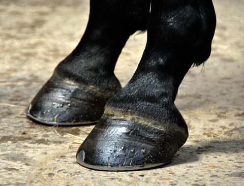 Two shoed horse hooves that show balanced horse hooves