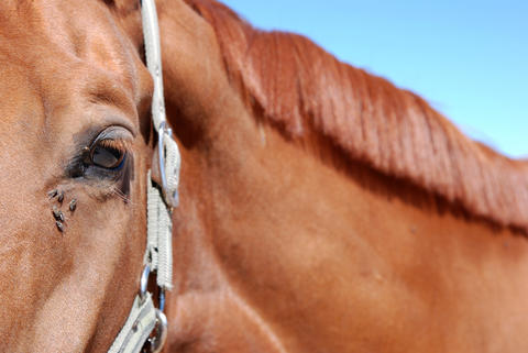 Horse with flies around its eye
