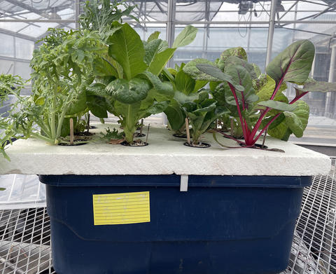 A blue plastic container with a polystyrene foam board on top. The board has holes cut into it, and pots are nested into the holes. Each small pot has a different type of lettuce growing out of it. The bucket system is sitting on a bench in a greenhouse.