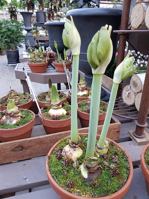three amaryllis stems with buds in a terracotta pot