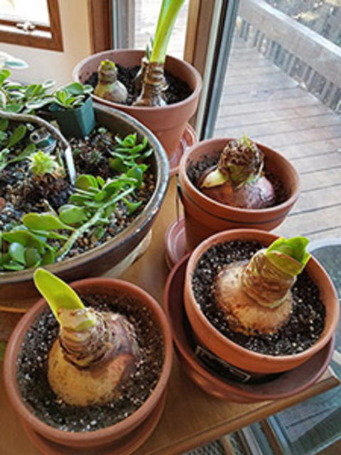 four terracotta pots with amaryllis plants starting to grow stems.