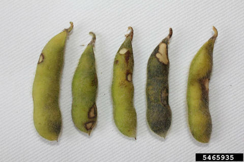 Soybean pods showing damage from bean leaf beetle.