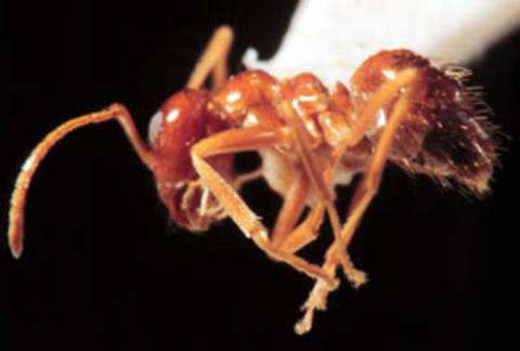 dead false honey ant
