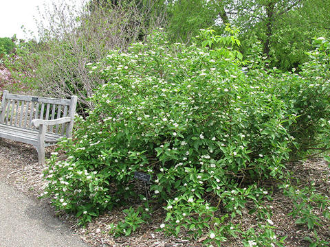 A dogwood shrub planted next to a bench that has green foliage and white flower clusters
