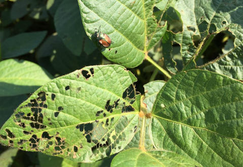 soybean leaves that have been eaten by japanese beetle with japanese beetle on an adjoining leaf.