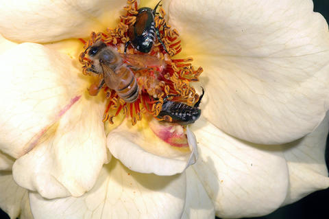 One bee and two Japanese beetles crawl in the middle of an opened rose