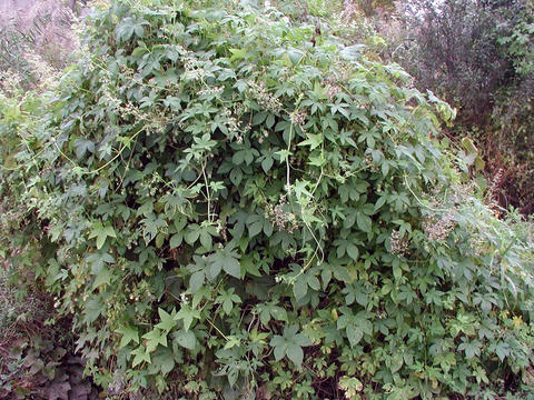 large bush of Japanese hops