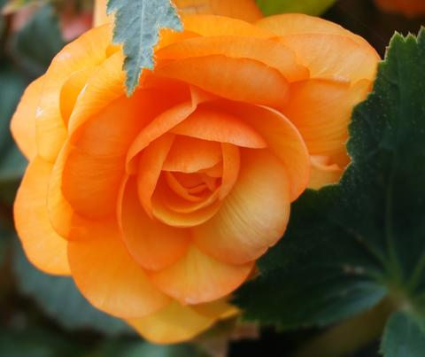 An orange tuberous begonia flower with dark green leaves in the background.