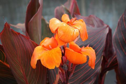 Orange canna lily flowers with bronze and dark green striped leaves.