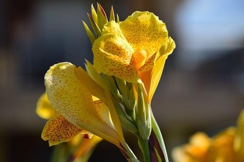 A cluster of yellow red-flecked canna lily flowers