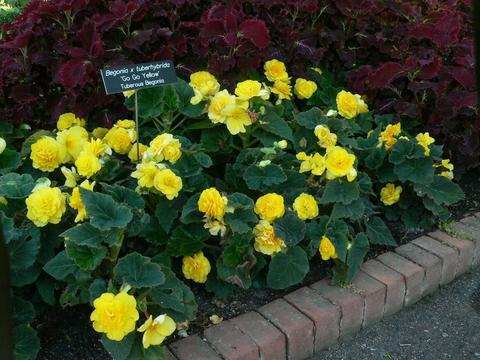 Yellow tuberous begonias in a mass planting with dark purple coleus in the background.