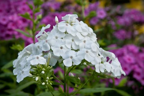 A tall garden phlox with white flowers with hot pink flowers in the background.