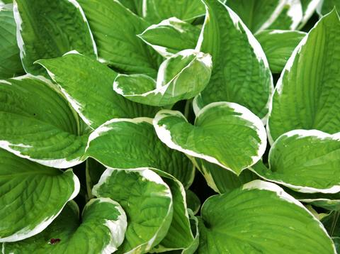 Bright green hosta leaves edged in white