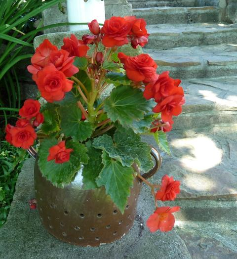 Red-flowered tuberous begonias growing in a brown ceramic container that has decorative handles.