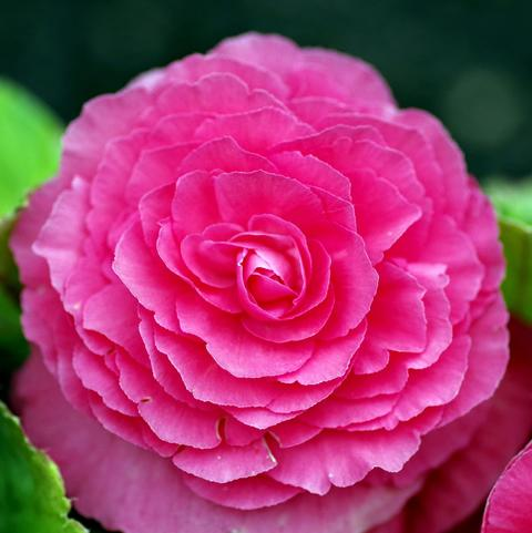 A pink tuberous begonia flower with many slightly ruffled petals.