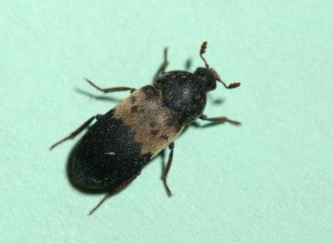 Larder beetles | UMN Extension