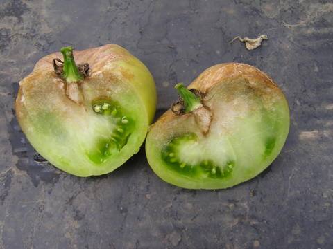 Green tomato cut open. Tan to grey mushy infection near stem going into the flesh of the fruit