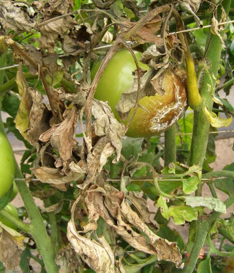 Tomato plant with dead, brown leaves, brown stem and fruit rotting on one side