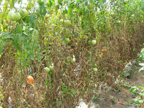 Row of tomato plants, lower two thirds of plants have dead, brown leaves