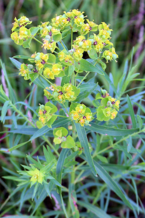 Leafy spurge plant growing in the grass