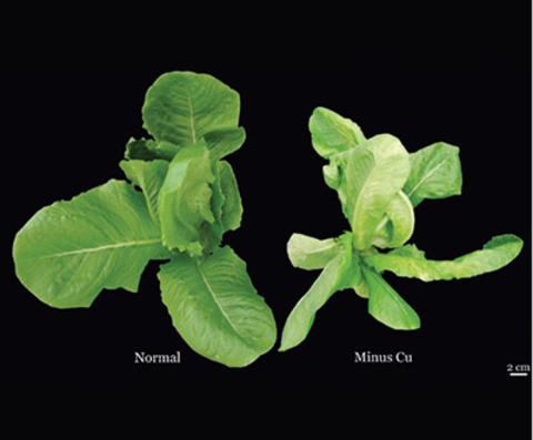 a healthy young lettuce plant next to a young lettuce plant with upper portion of the plant wilted