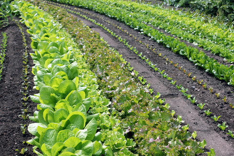 Long farm rows of several varieties of salad greens at different stages of growth, from ready-to-harvest to young seedlings.