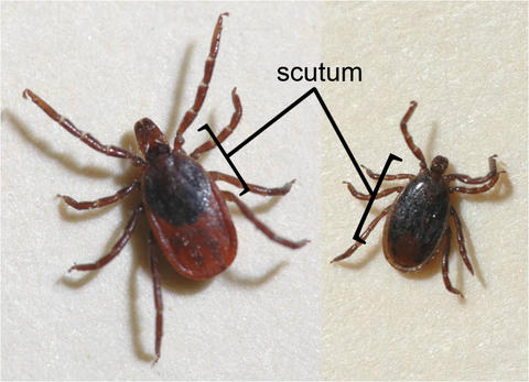 "Two ticks on a white background. The one on the left is larger than the one on the right. The word ""scutum"" indicates the area behind the head of each tick."