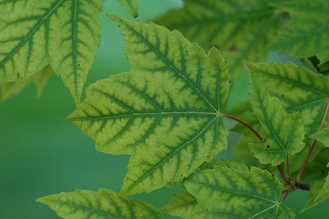Yellow-green leaves with dark green leaf veins