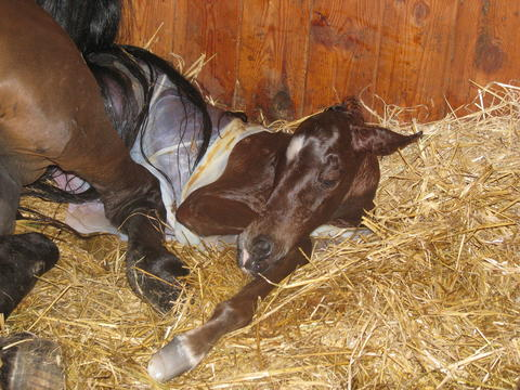 Broodmare delivering foal.