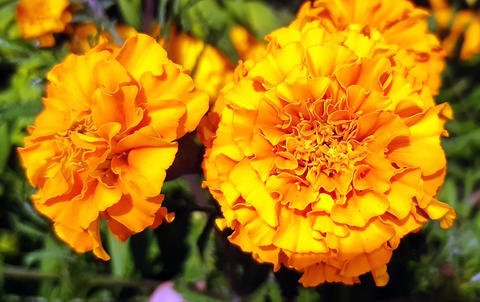 Two bright marigold flowers in a garden.