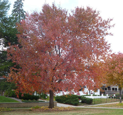 Large maple tree with red fall foliage growing in urban yard