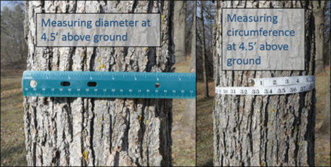 Side by side pictures of the same tree trunk with two different measurement methods for diameter and circumference shown: ruler (left) and measuring tape (right).