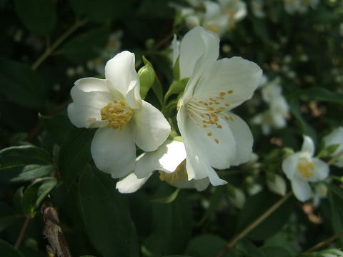 Four-petaled white flowers with yellow stamens of Blizzard mockorange