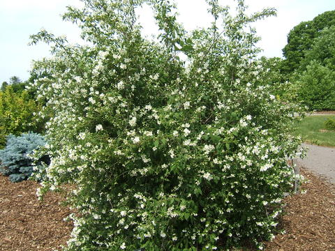 Blizzard mockorange shrub has a rounded shape with white flowers
