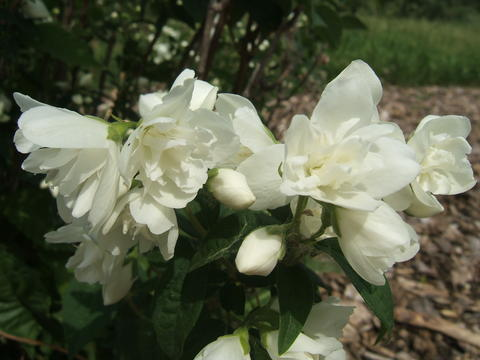 Many-petaled white flowers of 'Snowbelle' mockorange