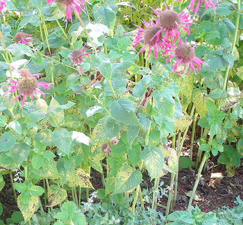 Rust-infected Monarda plants that have yellow leaf spots on the lower leaves