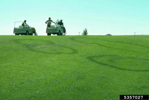Five dark green circles of grass within a light green lawn. Golf course maintenance people in golf carts in background.