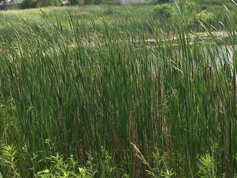 large bush of narrow-leaf cattails